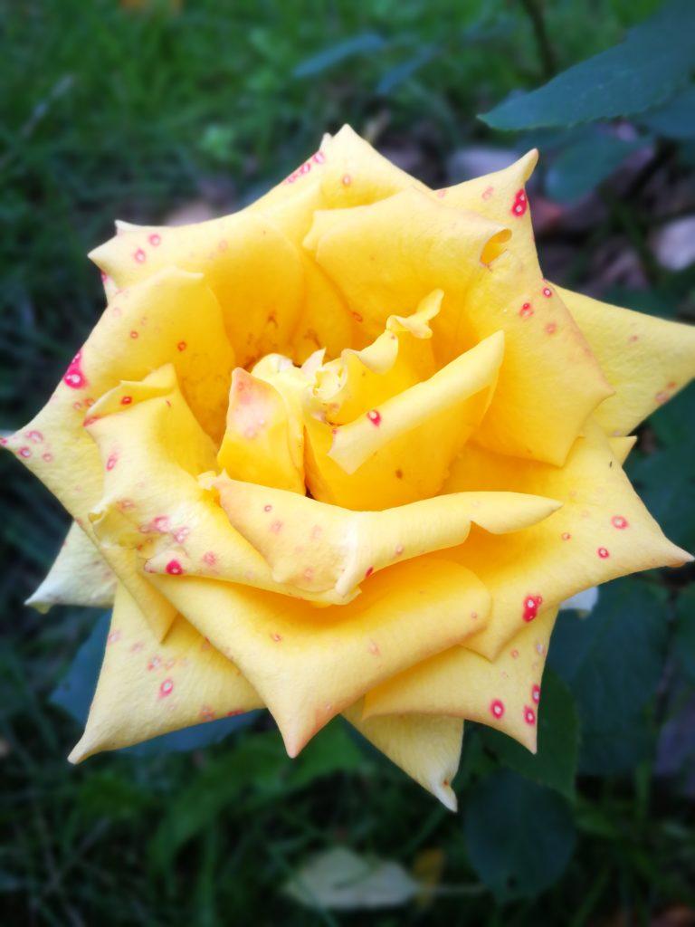 Укрытие роз на зиму своими руками