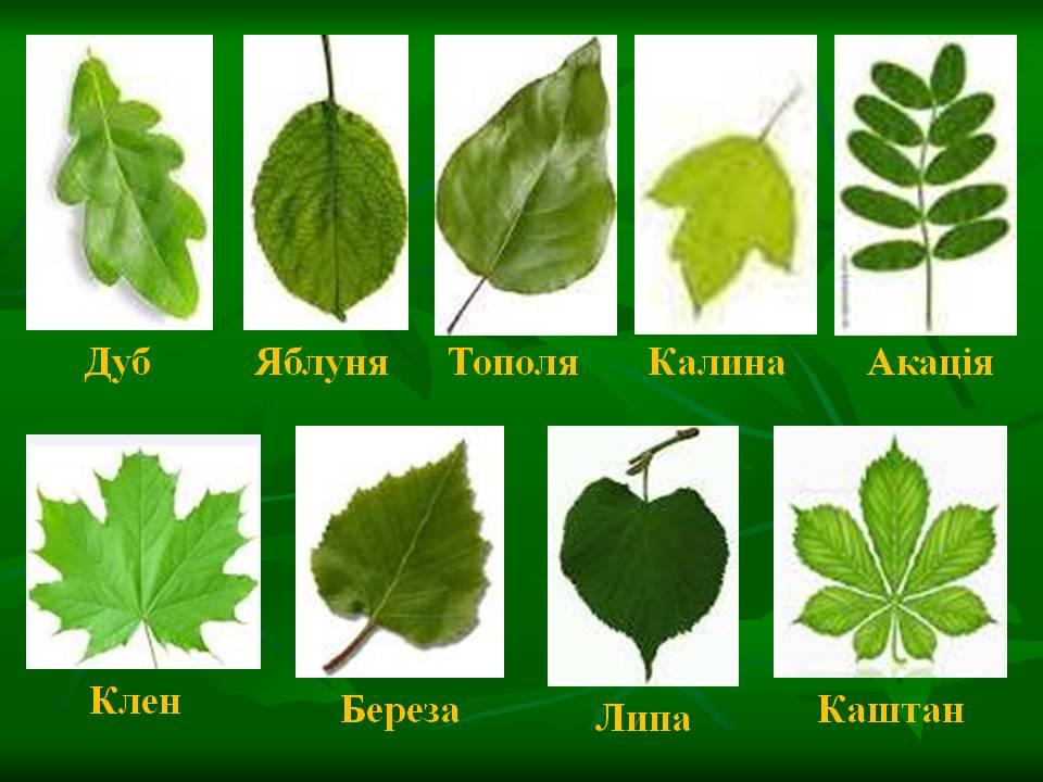 муравьи социальные виды деревьев в картинках их листья территории базы расположен