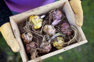 Как садить лилию луковицей