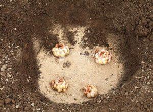 Как правильно сажать лилии в грунт