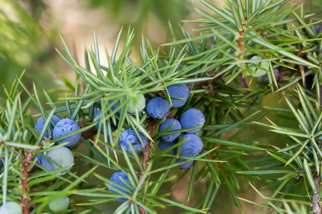 Как посадить можжевельник — как правильно выращивать и ухаживать за можжевельником (125 фото   видео)