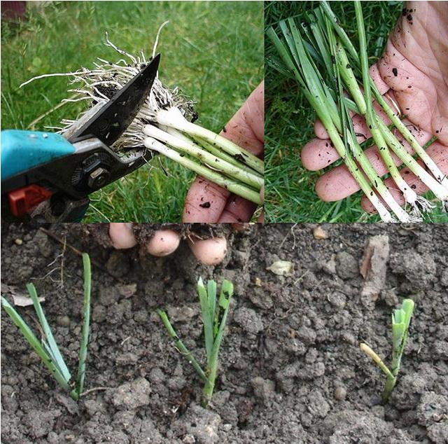 Как сажать лук порей в открытый грунт