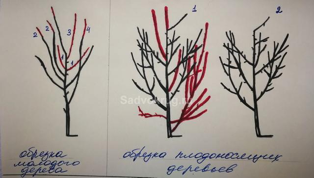 Для получения цветущего и плодоносящего сада – когда обрезать плодовые деревья?