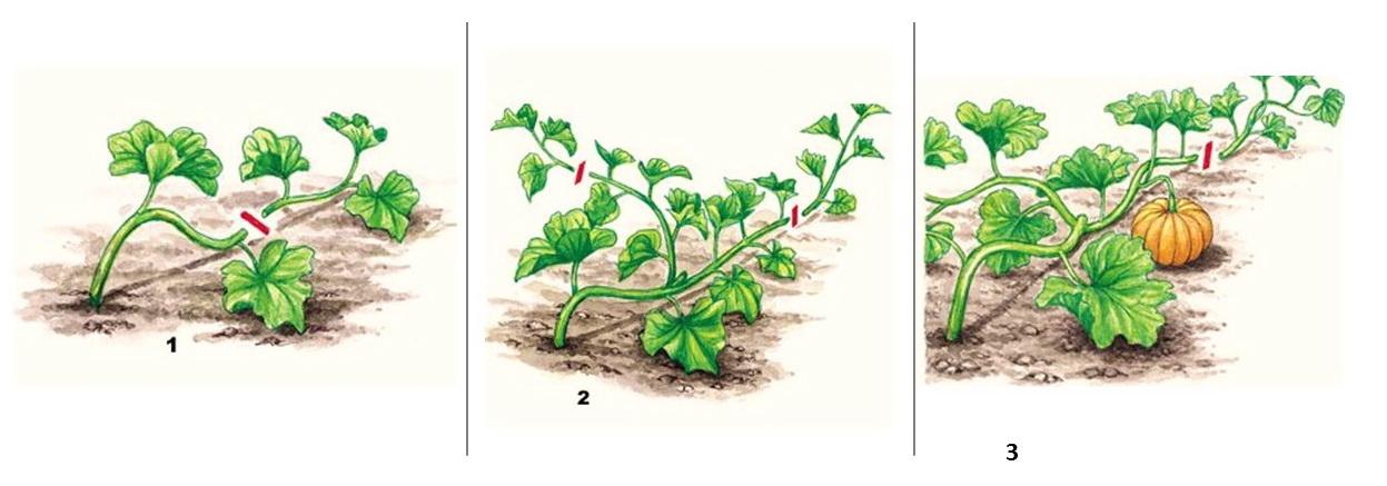 Прищипывание тыквы