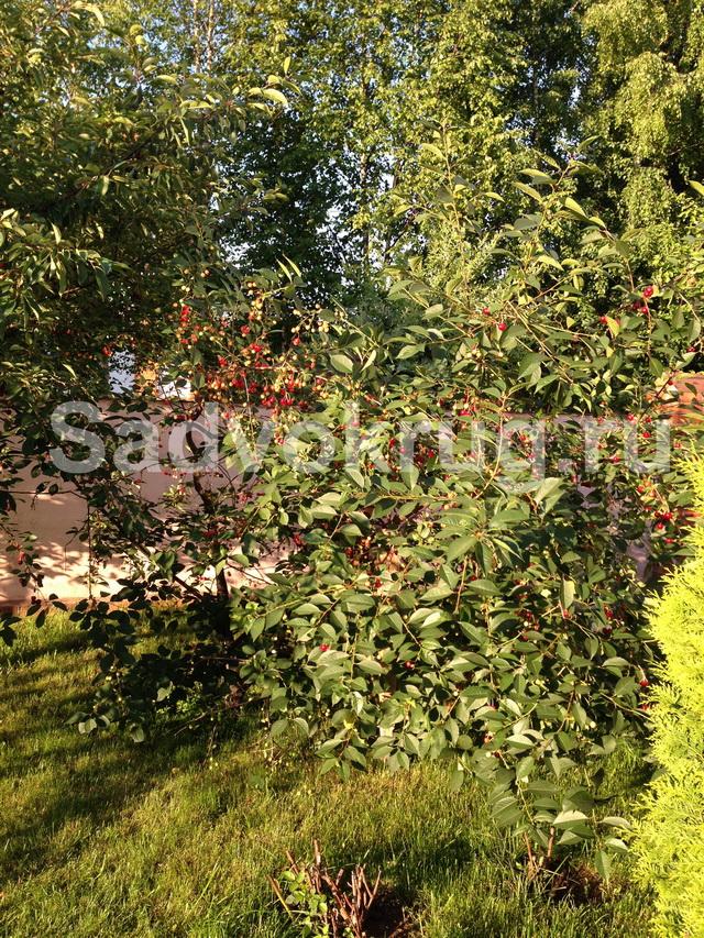 Болезни вишни: описание, борьба и профилактика