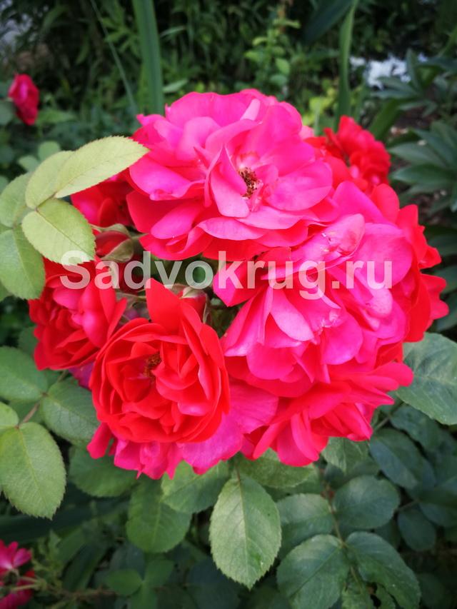 roz16.jpg