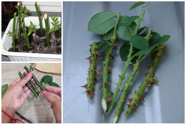 Какие растения можно черенковать осенью